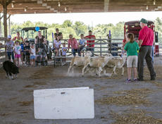 "<div class=""source"">KACIE GOODE/The Kentucky Standard</div><div class=""image-desc"">Alan Miller leads a herding demonstration Saturday for Ag Day at the Nelson County fairgrounds.</div><div class=""buy-pic""><a href=""/photo_select/87416"">Buy this photo</a></div>"