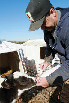"<div class=""source"">Erin L. McCoy</div><div class=""image-desc"">Sorrell feeds a 3-day old calf a powdered milk mixture on his Bittersweet Dairy farm in Cox's Creek. The mother will be milked twice daily, and the milk shipped to Dean Foods, to whom Sorrell sells his milk directly. </div><div class=""buy-pic""><a href=""http://web2.lcni5.com/cgi-bin/c2newbuyphoto.cgi?pub=191&orig=calf.jpg"" target=""_new"">Buy this photo</a></div>"