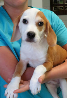 "<div class=""source""></div><div class=""image-desc"">Creek is a Bassett/ Lab mix pup. She is about 4 months old and has pretty tan and white markings.  We think this playful pup would be a good indoor or outdoor pet.</div><div class=""buy-pic""><a href=""/photo_select/69216"">Buy this photo</a></div>"