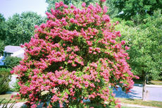 """<div class=""""source"""">© by James G. Howes, 2007</div><div class=""""image-desc"""">A large lagerstroemia (crepe myrtle) grown to a height of more than 12 feet.</div><div class=""""buy-pic""""><a href=""""/photo_select/66323"""">Buy this photo</a></div>"""