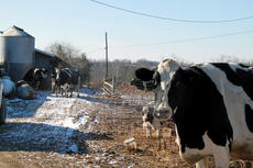 "<div class=""source"">Erin L. McCoy</div><div class=""image-desc"">The 49 Holstein cows Paul Sorrell is currently milking on his Bittersweet Dairy farm in Cox's Creek produce about 2,600 pounds of milk per day. Sorrell ships his milk every other day directly to Dean Foods. </div><div class=""buy-pic""><a href=""http://web2.lcni5.com/cgi-bin/c2newbuyphoto.cgi?pub=191&orig=curious_cow.jpg"" target=""_new"">Buy this photo</a></div>"