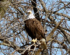 "<div class=""source""> STEPHANIE WIMSETT</div><div class=""image-desc"">Bald eagle on residence property in New Haven</div><div class=""buy-pic""></div>"