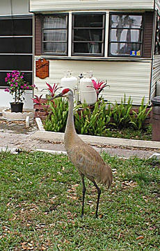 "<div class=""source"">Phil Junker</div><div class=""image-desc"">Sandhill cranes in the wild are very wary of humans, however in Florida where they winter they can become a nuisance, pecking and damaging automobile mirrors and screen doors.</div><div class=""buy-pic""></div>"