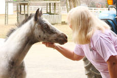 "<div class=""source"">Peter W. Zubaty</div><div class=""image-desc"">Linda Ellis visits with Tippy, a month-old Appaloosa with distinctive blue eyes.</div><div class=""buy-pic""><a href=""/photo_select/23760"">Buy this photo</a></div>"