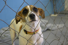 """<div class=""""source"""">JENNIFER GROTE/The Kentucky Standard</div><div class=""""image-desc"""">Louise, a Jack Russell terrier, looks through a kennel at the new Barktown Facility, which will open Saturday.</div><div class=""""buy-pic""""><a href=""""/photo_select/56739"""">Buy this photo</a></div>"""