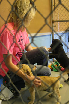 """<div class=""""source"""">JENNIFER GROTE/The Kentucky Standard</div><div class=""""image-desc"""">Suzanne Bridwell, president of Barktown Rescue, pets puggles JuJu and Rosie inside a kennel at the new Barktown Facility located on 295 Petersburg Rd in Boston.</div><div class=""""buy-pic""""><a href=""""/photo_select/56740"""">Buy this photo</a></div>"""