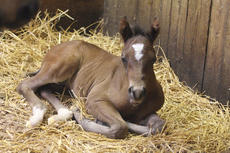 "<div class=""source"">Peter W. Zubaty</div><div class=""image-desc"">The newest arrival to Rockin E Stables is a 1/2-quarter horse and 1/2-Appaloosa, just 2 days old when this picture was taken, and yet to be named. Linda Ellis, who co-owns the Bardstown horse farm with her husband, Jeep, said they raise generally 7-10 foals per year, primarily Appaloosas, with births scheduled every two weeks. </div><div class=""buy-pic""><a href=""/photo_select/23757"">Buy this photo</a></div>"