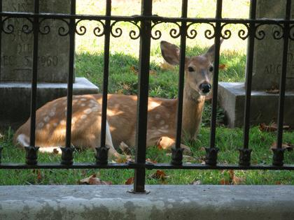 John McCubbin, Bloomfield, took the photo of this fawn relaxing in the cemetery at Nazareth in September 2010.