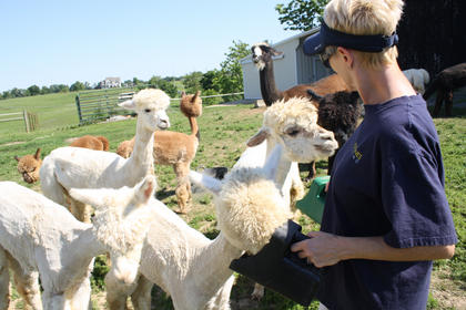 "Kay Burtoft, right, holds two cups of grain for a group of alpacas at the ""Capture Your Heart Alpaca"" farm she owns with her husband, Gary, in Bloomfield."