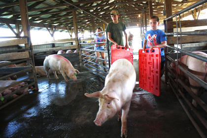 Mason Blanford, left, and volunteers direct pigs to the main showroom for the pig show Tuesday. 
