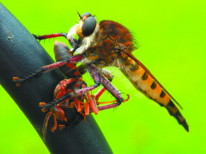 Holly Schwartz, Bardstown, received runner-up honors for her photo of a robber fly devouring a red wasp on a shepherd's pole. The photo was taken this summer in the backyard of her home in the Creek Chase Subdivision.