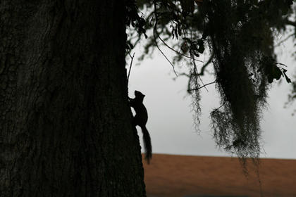 Lee Ann Miracle, daughter of Jo Ann Miracle of Bardstown, took this photo of a squirrel in Houma, La. She watched while a squirrel played chase around the giant live oak tree and when he paused to rest, he was in perfect silhouette.