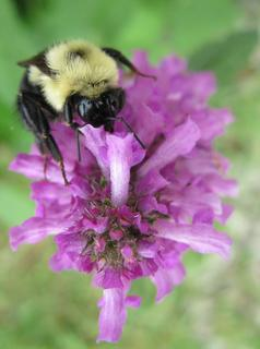 John McCubbin, Bloomfield, had the winning photo. He took the photo in June 2010 at a nursery in Mount Washington. The bumblebee's yellow and black coloring is a striking contrast to the purple hue to the flower on which it rests.