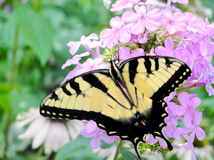 In the Summer of 2010, Ashley Curtsinger captured this butterfly paying a visit to one of the many flowers her parents' garden in Bardstown.