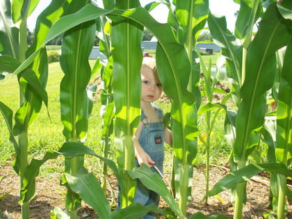 Layne Bartley, son of Todd and Shawn McGee-Bartley, is seen peeking through his grandparents' corn on their Nelson County farm