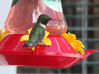 Mary Brzozka, Cox's Creek, took a photo of a hummingbird visiting her feeder this summer.