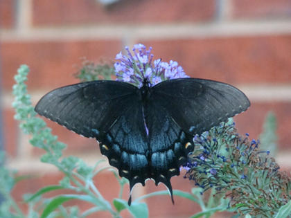Mary Brzozka, Cox's Creek, took this photo of a Black Swallowtail butterfly on one of her butterfly bushes.