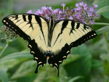Mary Brzozka, Cox's Creek, took this photo of the Yellow Tiger Swallowtail on her butterfly bush this summer. She spent hours in the butterfly bushes each evening taking photos. The butterflies constantly move so it is hard to catch them with no wing movement.