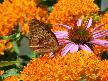 Mary Brzozka, Cox's Creek, took this photo this spring on one of her Milk Weed plants. She said the butterfly looked right at her and posed.