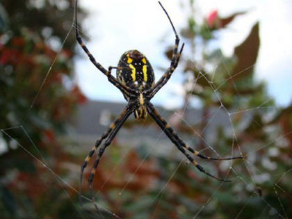 Mary Brzozka, Cox's Creek, took a photo of a fall spider working in his web. She took this in a bush in her backyard.