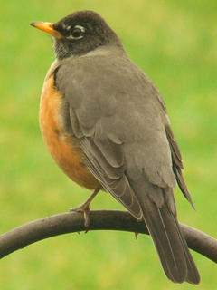 Holly Schwartz took a photo of a robin.