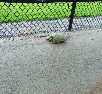 Trevor Greenwell and his family were taking a walk at Dean Watts Park with their dog after a heavy rain and were shocked to see this snapping turtle nestled against a chain link fence.