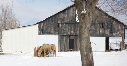 A horse in Fairfield grazes on some fresh hay Monday.