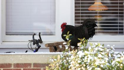 A rooster takes a break from crowing and hunkers down against the cold on a front porch in Bloomfield Monday.