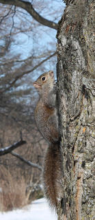 A squirrel uses its natural camouflage to hide against a tree trunk.