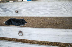 """<div class=""""source"""">KACIE GOODE/The Kentucky Standard</div><div class=""""image-desc"""">One of Alan Miller's border collies waits and watches during a herding demonstration Saturday at Ag Day.</div><div class=""""buy-pic""""><a href=""""/photo_select/87413"""">Buy this photo</a></div>"""