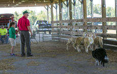 """<div class=""""source"""">KACIE GOODE/The Kentucky Standard</div><div class=""""image-desc"""">Alan Miller leads a herding demonstration Saturday for Ag Day at the Nelson County fairgrounds.</div><div class=""""buy-pic""""><a href=""""/photo_select/87417"""">Buy this photo</a></div>"""