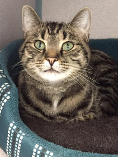"""<div class=""""source""""></div><div class=""""image-desc"""">Blade is a classic tabby cat with the most beautiful light green eyes. He is 6 years old and very laid-back. A quiet adult family would be perfect, and he should be the only cat. Very affectionate.</div><div class=""""buy-pic""""><a href=""""/photo_select/69039"""">Buy this photo</a></div>"""