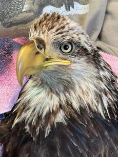 """<div class=""""source"""">Photo courtesy  Raptor Rehabilitation of Kentucky Inc. </div><div class=""""image-desc"""">An injured bald eagle rescued at Bernheim late last month has died, according to the organization that was caring for the bird.</div><div class=""""buy-pic""""></div>"""