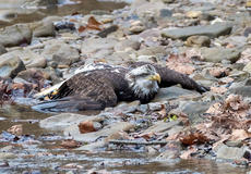 """<div class=""""source""""></div><div class=""""image-desc"""">While participating in the Christmas Bird Count at Bernheim Forest, Eric Nally came across this injured bald eagle. With the help of workers at Bernheim, the injured eagle was taken to Raptor Rehabilitation in Louisville for treatment.</div><div class=""""buy-pic""""><a href=""""/photo_select/111974"""">Buy this photo</a></div>"""