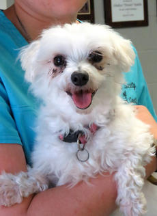 "<div class=""source""></div><div class=""image-desc"">Issa is a very feisty senior dog. She is a Malti-Po and will make a great indoor pet. Issa is full of energy and will need daily walks. You will really love this little dog so come meet her.</div><div class=""buy-pic""><a href=""/photo_select/69217"">Buy this photo</a></div>"
