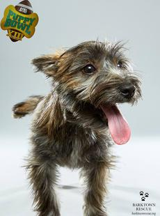"<div class=""source"">Submitted Photo</div><div class=""image-desc"">Carson, aka ""Teddy"", is one of two local puppies to star in Animal Planet's Puppy Bowl XIII this year. He and fellow pup Woody were selected by the show from Barktown Rescue. Both have been adopted.</div><div class=""buy-pic""></div>"