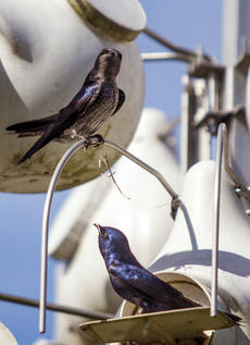 "<div class=""source"">KACIE GOODE/The Kentucky Standard</div><div class=""image-desc"">Purple martins roam around their colony at Bernheim Tuesday afternoon. Man-made structures are crucial to the birds' survival.</div><div class=""buy-pic""><a href=""/photo_select/102383"">Buy this photo</a></div>"