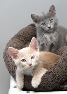 "<div class=""source""></div><div class=""image-desc"">Vitelli is a buff color and Bizzi is grey. They are both 8 weeks old and liter mates. Friendly and playful they are fun to be around. Other cats are welcome to join in. These are great kittens.</div><div class=""buy-pic""><a href=""/photo_select/69218"">Buy this photo</a></div>"