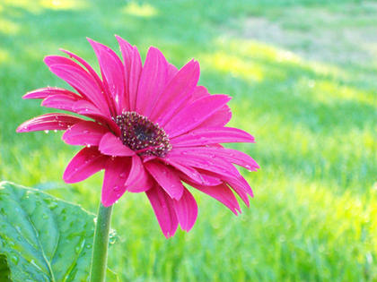 Curtsinger's favorite flowers are Gerber Daisies, so when her parents planted some last summer, she couldn't help but to capture this image.