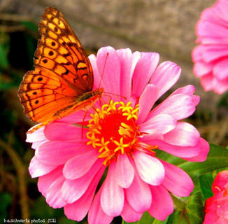 Butterfly on Pink Zinnia, September 2011