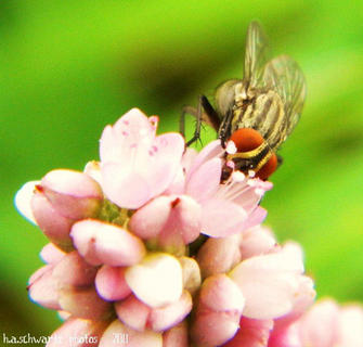 Fly on wildflower, September 2011