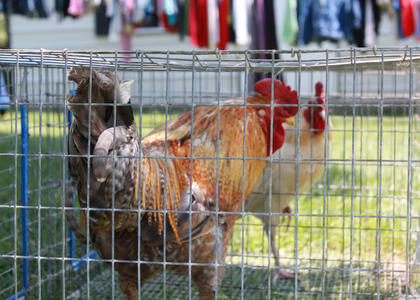 James Sharp, Bloomfield, had sold two roosters and had two left to sell by early Saturday afternoon during the 2011 Fairfield Days and Homecoming. People from throughout Nelson County — and from surrounding counties — set out their yard sale items along the main street of Fairfield every year during the two-day homecoming event.
