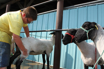William Gilpin, 10, Garrard County, cleans his lamb, Diamond, one of two he planned to show in the Nelson County Fair Lamb Show Thursday evening.