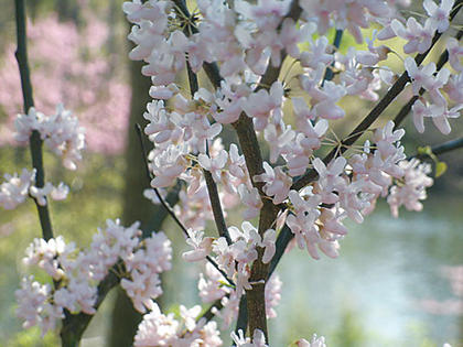 Spring blossoms have a lake as a backdrop when this photo was taken at Bernheim Forest in the spring of 2010.