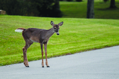 A wary fawn watches the photographer before crossing the road at the Sisters of Charity of Nazareth to join its mother one evening last week. At least 10 deer were out that night.
