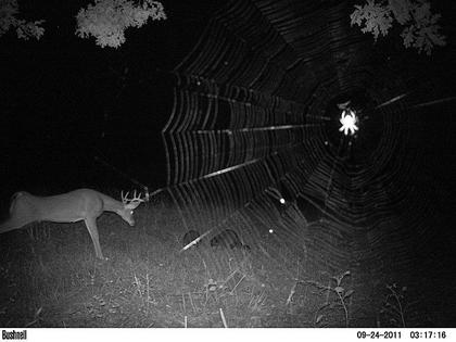 A trail camera caught this photo of a buck, two raccoons and a  spider recently. The camera belonged to Lee Reeves.