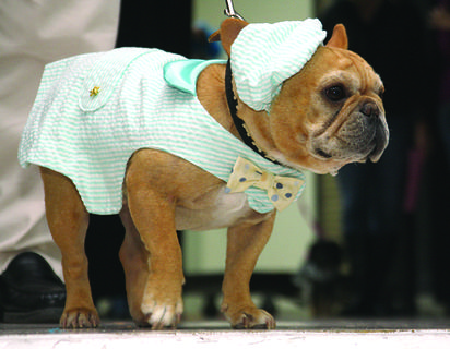 A miniature bulldog shows off his outfit to the audience during the Best Dressed Dog Review Friday at the Bardstown Civic Center.