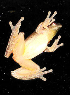 Curtsinger discovered this frog hanging out on the backdoor window of her home, after one of 2010's many rain storms.