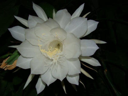 "Mary Brzozka, Cox's Creek, took a photo of a Night Blooming Cyrus. It only blooms once a year and at midnight. It is so neat to watch the bloom open up, she said. The pod looks like an alien pod. The scent is awesome and sweet. The bloom starts from a pod than by midnight it is in full bloom. As daylight hits the bloom it will start to close and die. She had to wait five years growing this plant on her sun porch. The blooms come only on the oldest leaves, like in the movie ""Dennis the Menace,"" so that is her nickname for her plant."