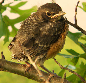 A baby robin was captured in a photo by Holly Schwartz in an oak tree in front of her yard in the Creek Chase subdivision.